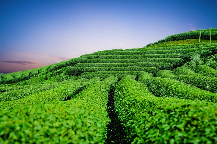 campuri de plante de ceai