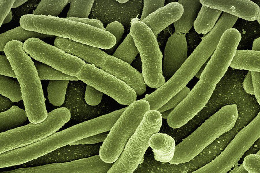 bacteria E. coli