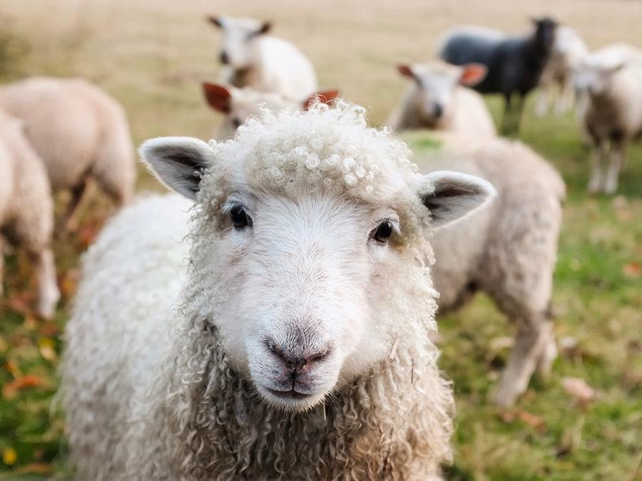 animale ferma oi